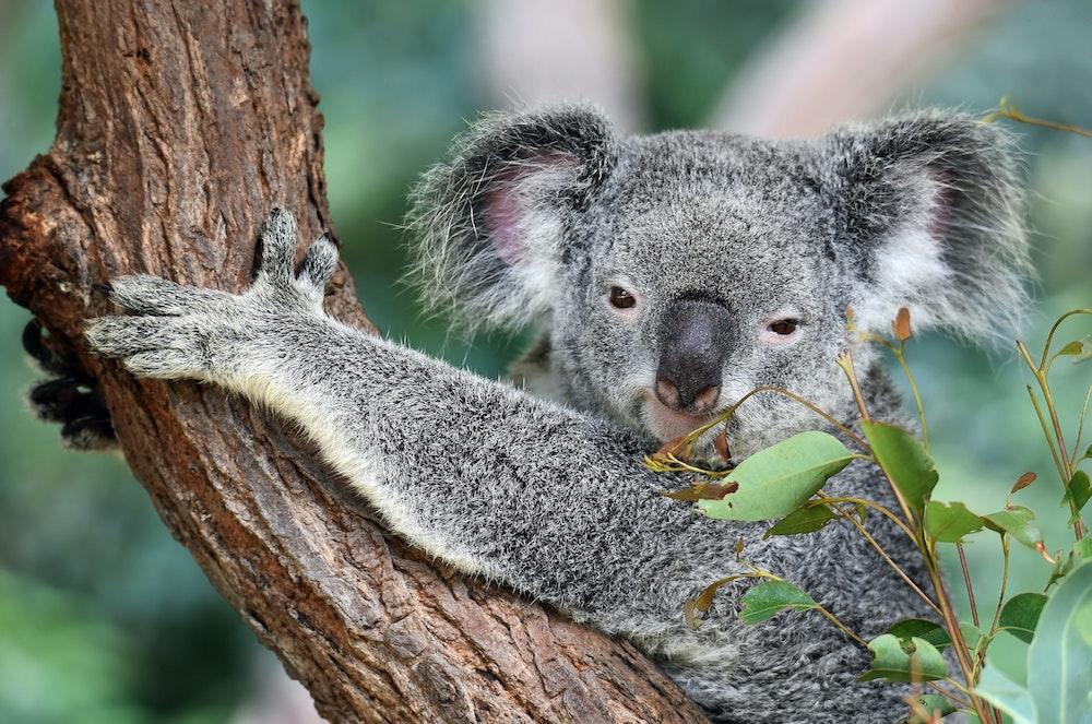Koala Corridor